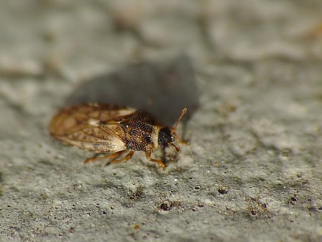 Piesma maculata