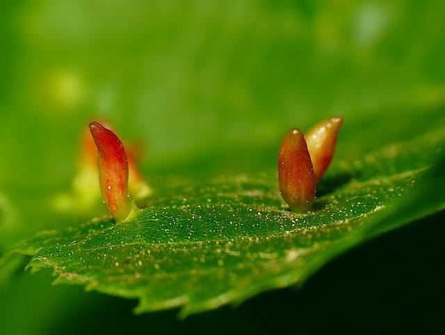 Eriophyes tiliae