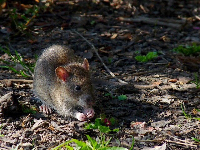 Rattus sp.