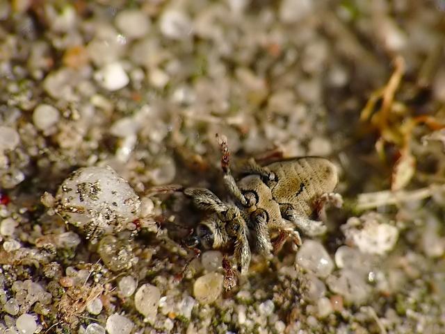 Tychius quinquepunctatus