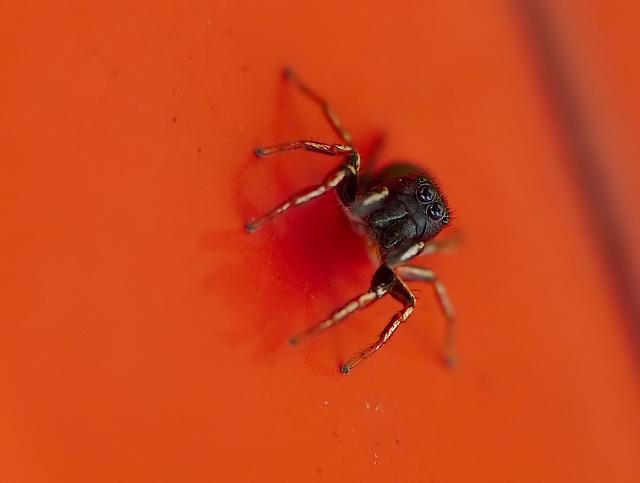 Heliophanus sp.