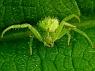 Heriaeus graminicola