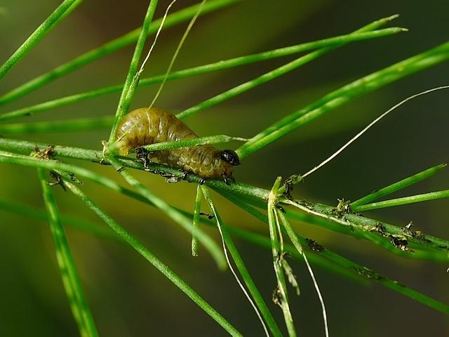 Crioceris asparagi