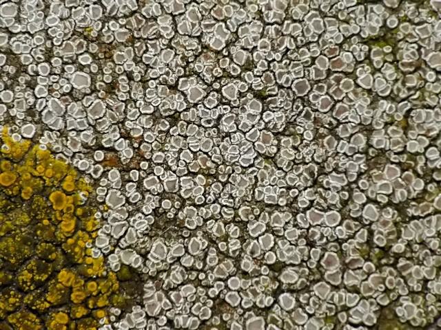 Myriolecis albescens
