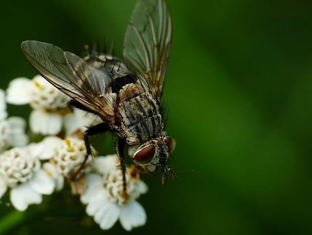 Linnaemyia sp.