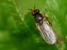 Elachiptera sp.