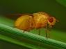 Sapromyza apicalis