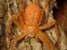 Philodromus fuscomarginatus