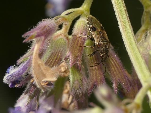 Heterogaster cathariae