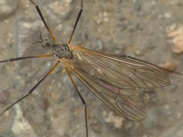 Tricyphona sp.