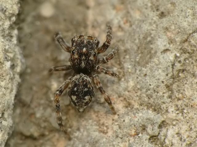Hypositticus pubescens