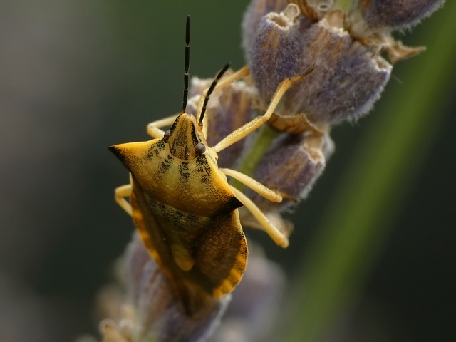 Carpocoris fuscispinus