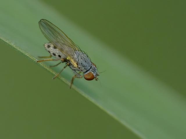 Chamaemyia sp.