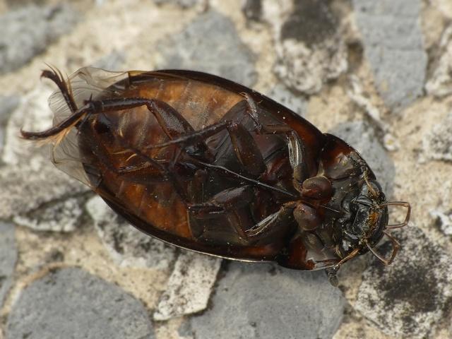 Hydrochara caraboides