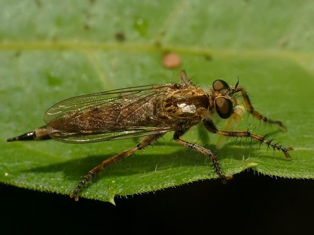 Tolmerus cingulatus