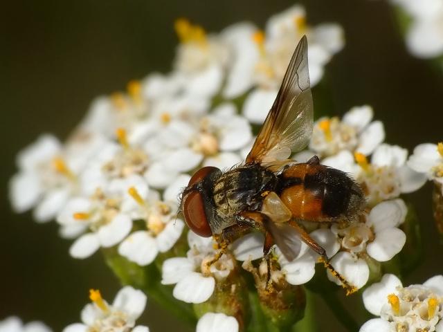 Ectophasia sp.