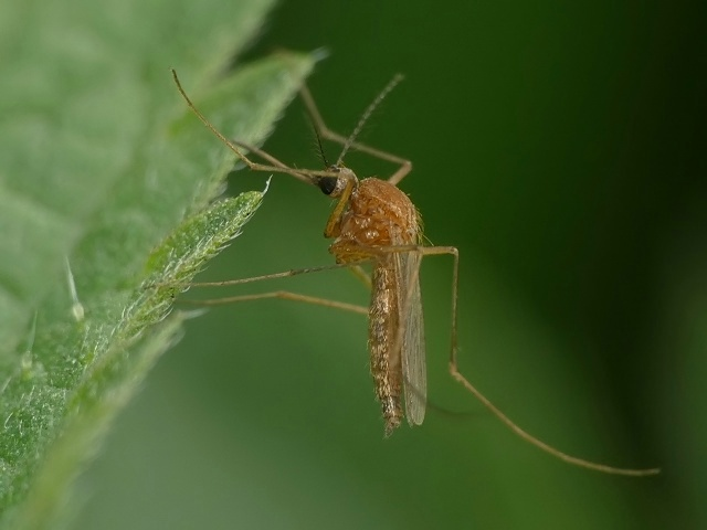 Aedes flavescens/cyprius