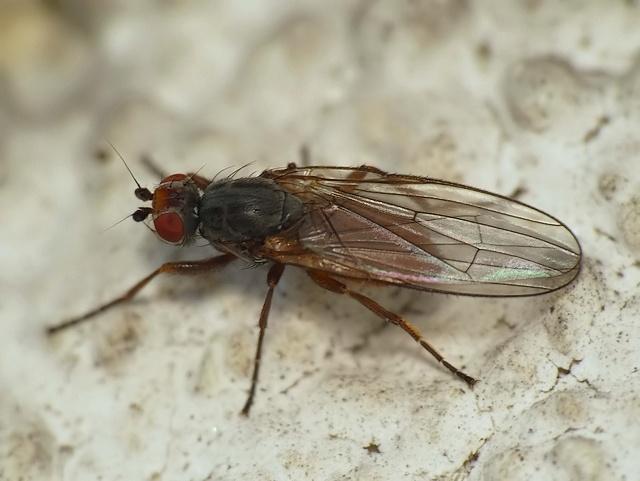 Heleomyza sp.