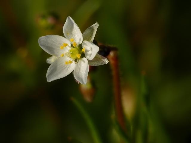 Spergula arvensis