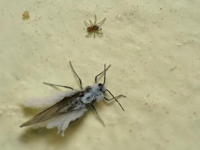 Eriosomatidae