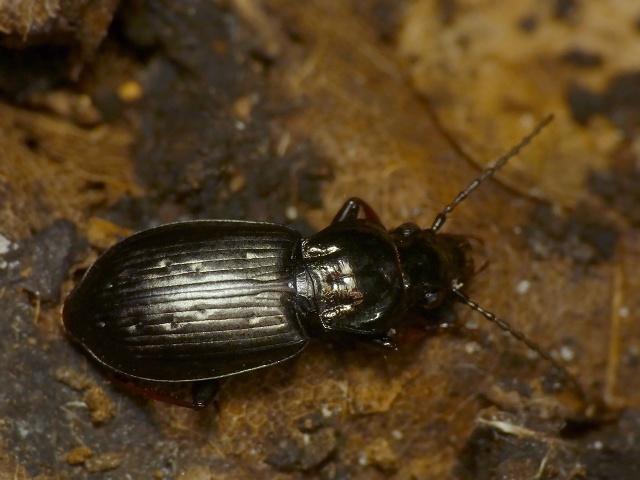 Pterostichus oblongopunctatus