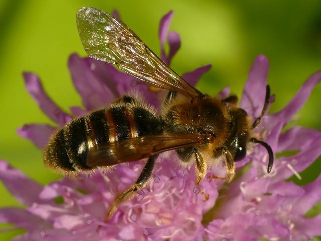 Andrena cf. hattorfiana