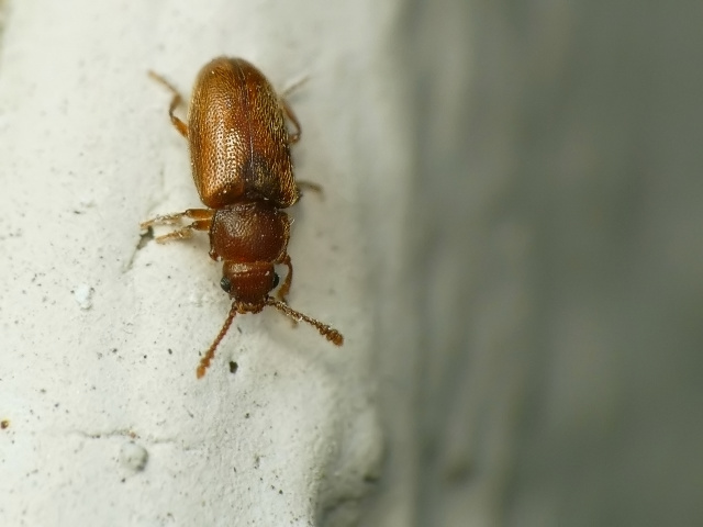 Cryptophagus sp.